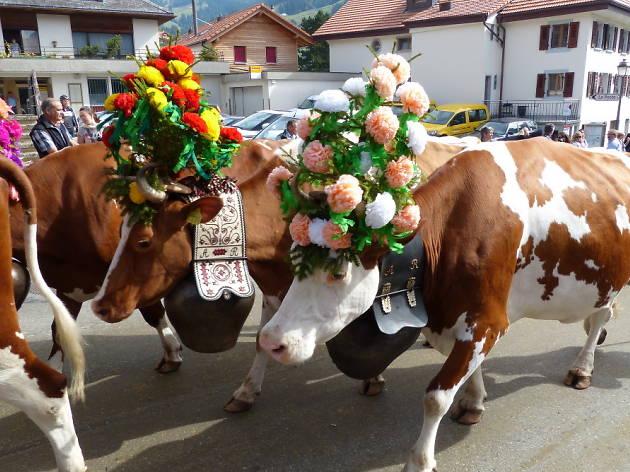 Cow festivals