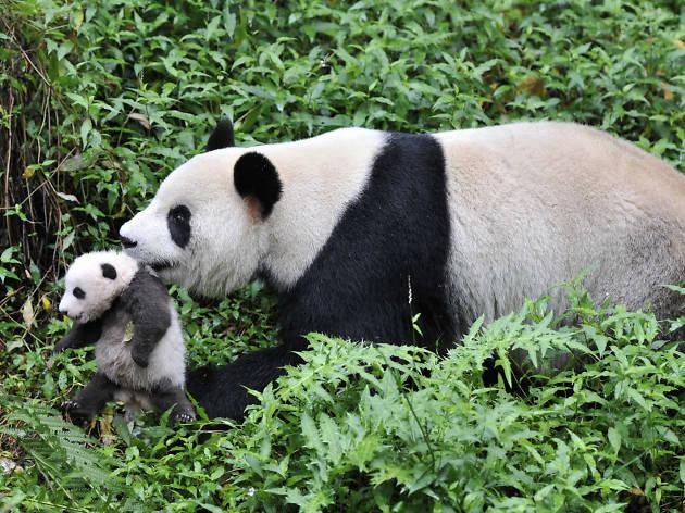 Pandas. De regreso a casa 3D.