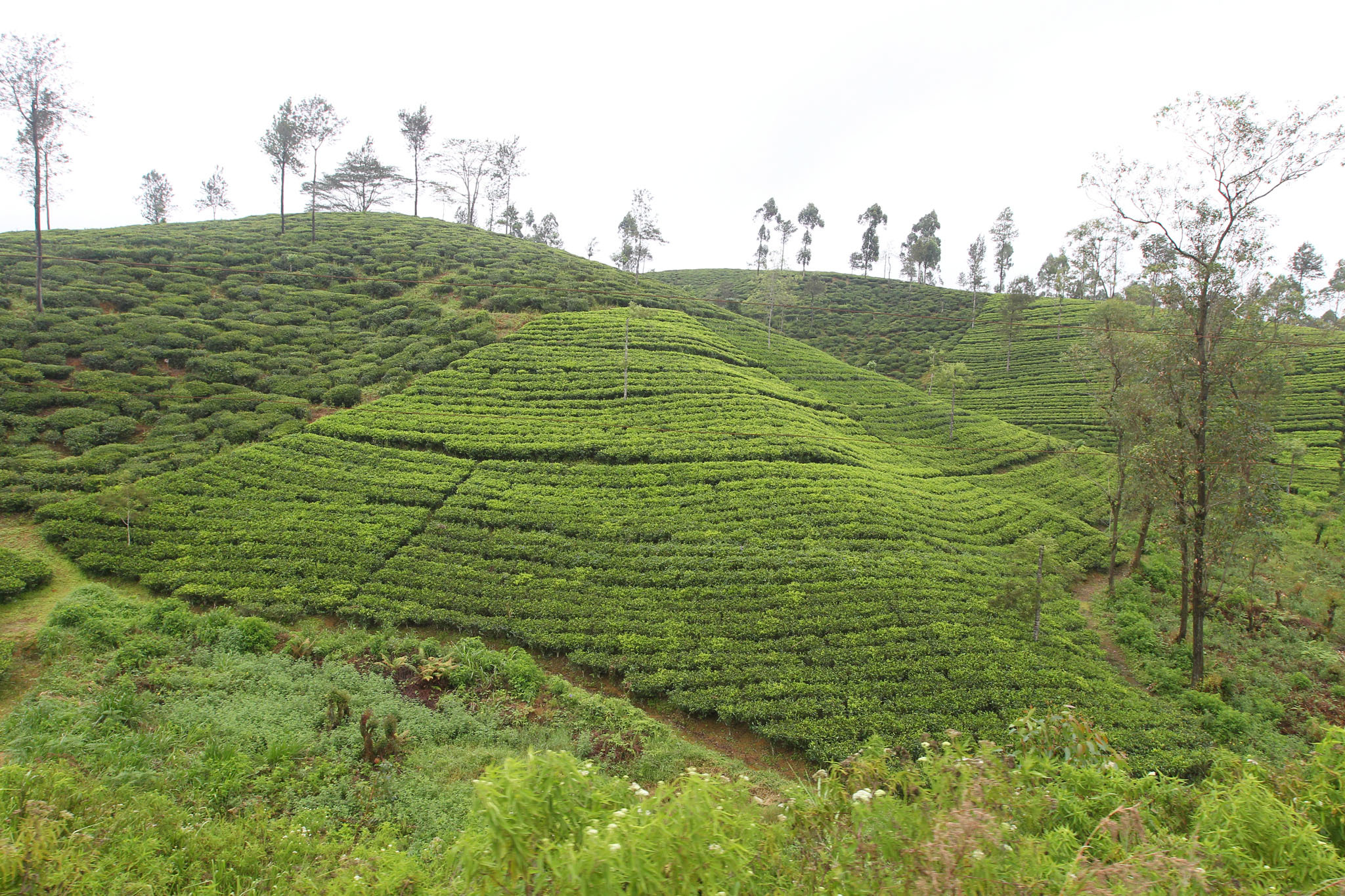 Tea Estates en route to Nuwara Eliya