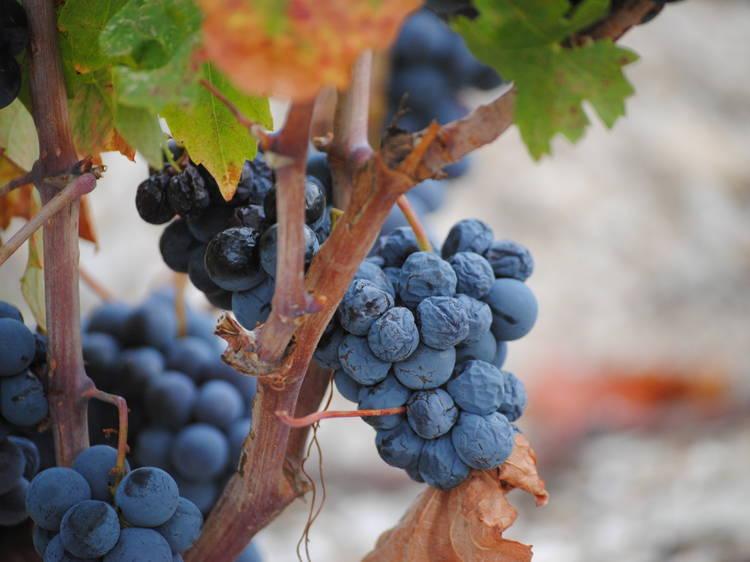 Take a wine tour of Pelješac