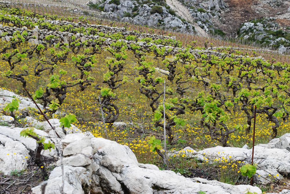 Dalmatia's wine trail
