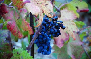 milos winery, wineries, Peljesac Peninsula, Korcula and Peljesac, croatia