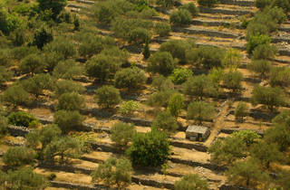 Olive groves, Korčula