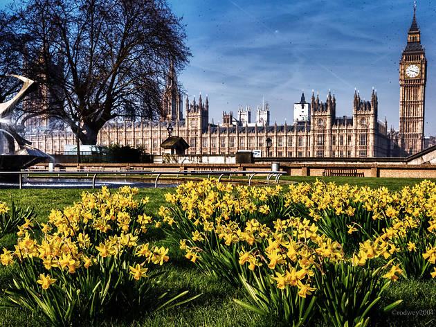 Daffodils at Parliament