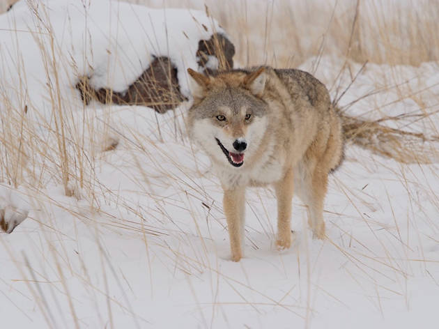 El último lobo (Wolf Totem)