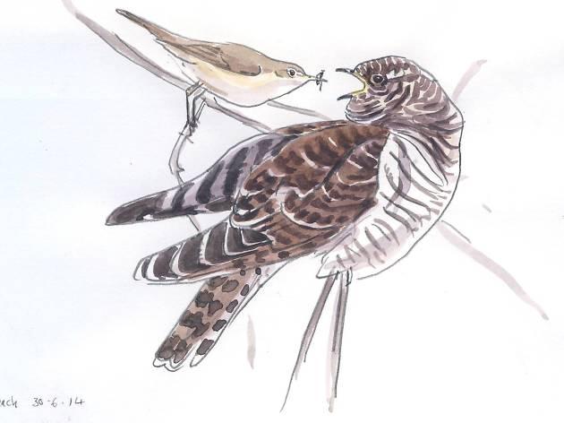 Cuckoos and Their Victims: An Evolutionary Arms Race