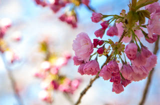 Sakura Matsuri Cherry Blossom Festival Brooklyn Botanic Garden