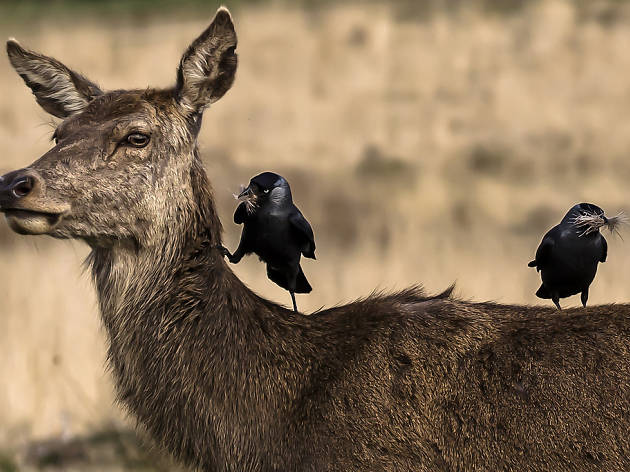 Two birds sitting on a deer in Richmond Park.