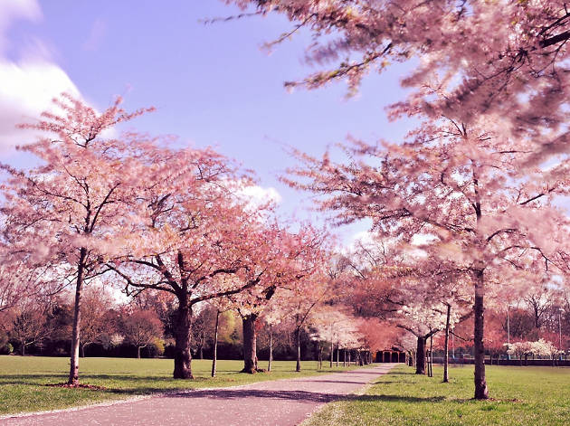 Cherry blossom trees in Battersea Park.
