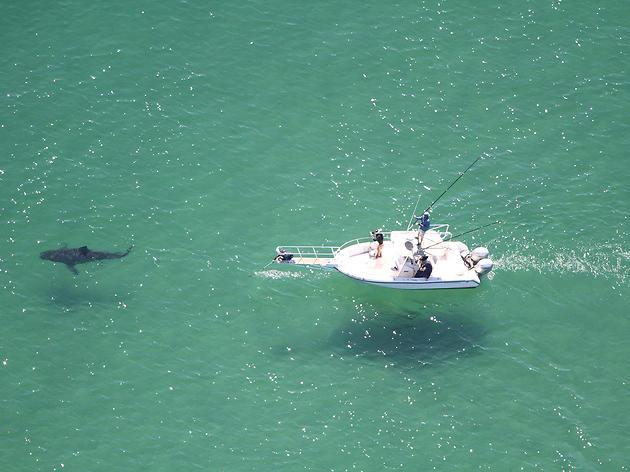 Great white shark stalking