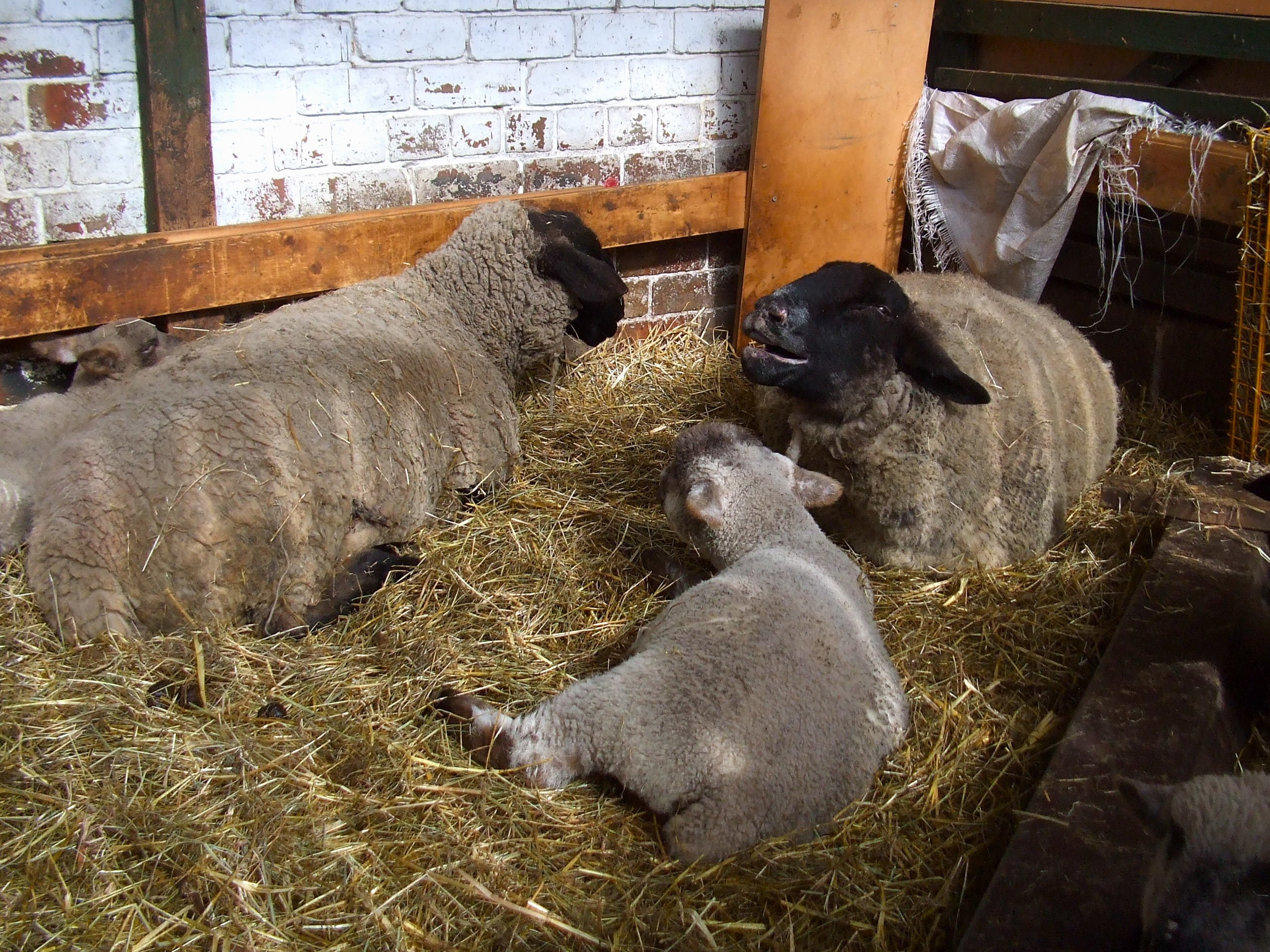 sheep at gorgie city farm