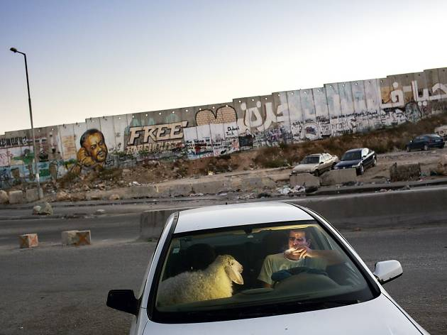 West Bank: After grueling traffic at the Qalandia check point, a young man enjoys a cigarette in his car as traffic finally clears on the last evening of Ramadan. He is bringing home a sheep for the upcoming Eid celebration