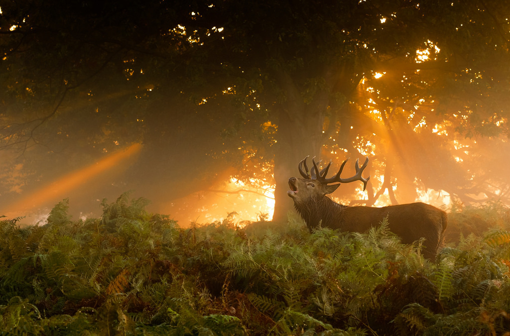 A deer calls out at sunrise, Richmond Park.
