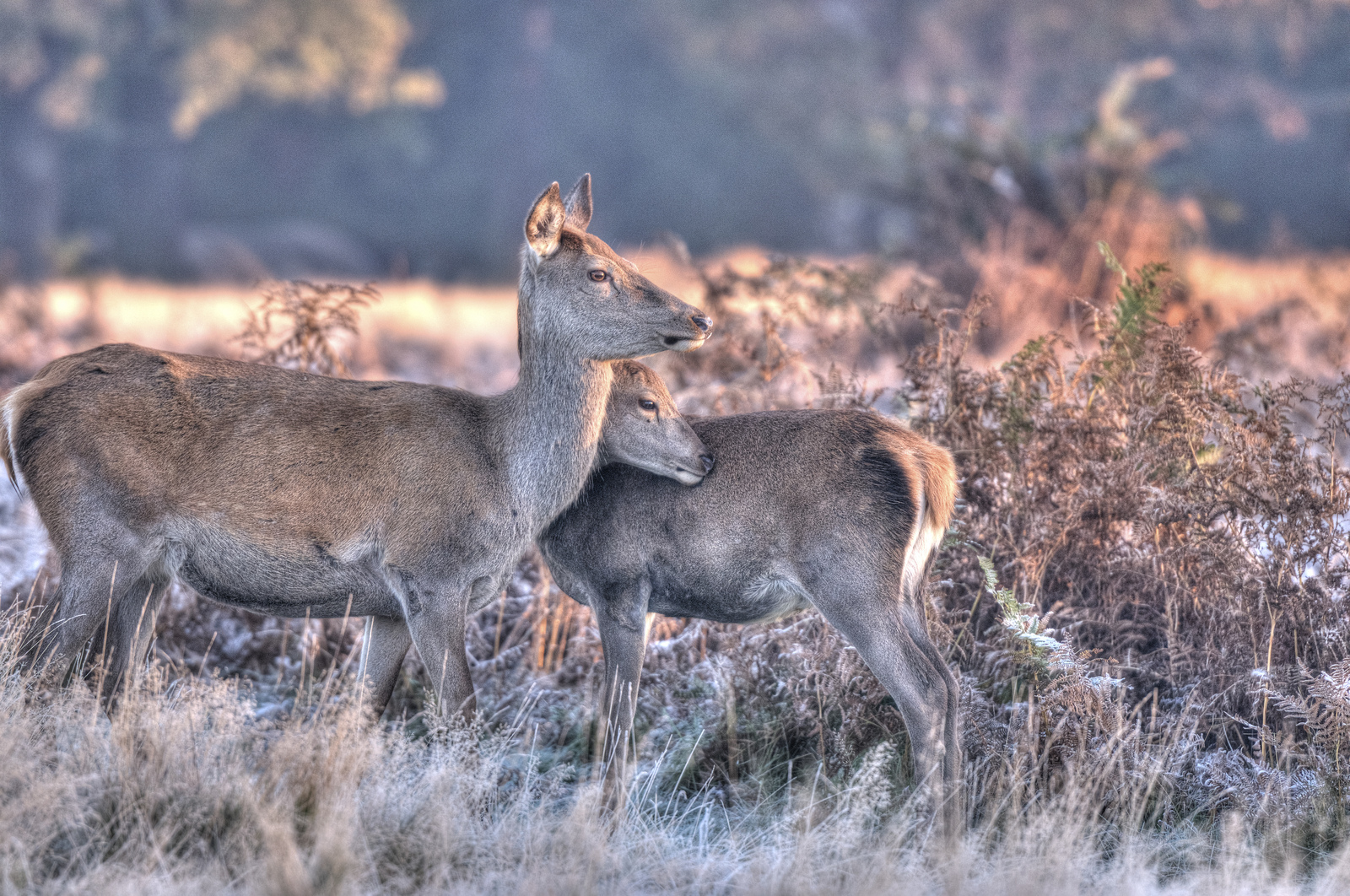 Deer at dawn in Richmond Park.
