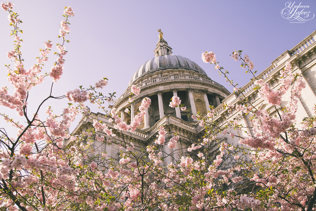 Blossom outside St. Paul's Cathedral, London.