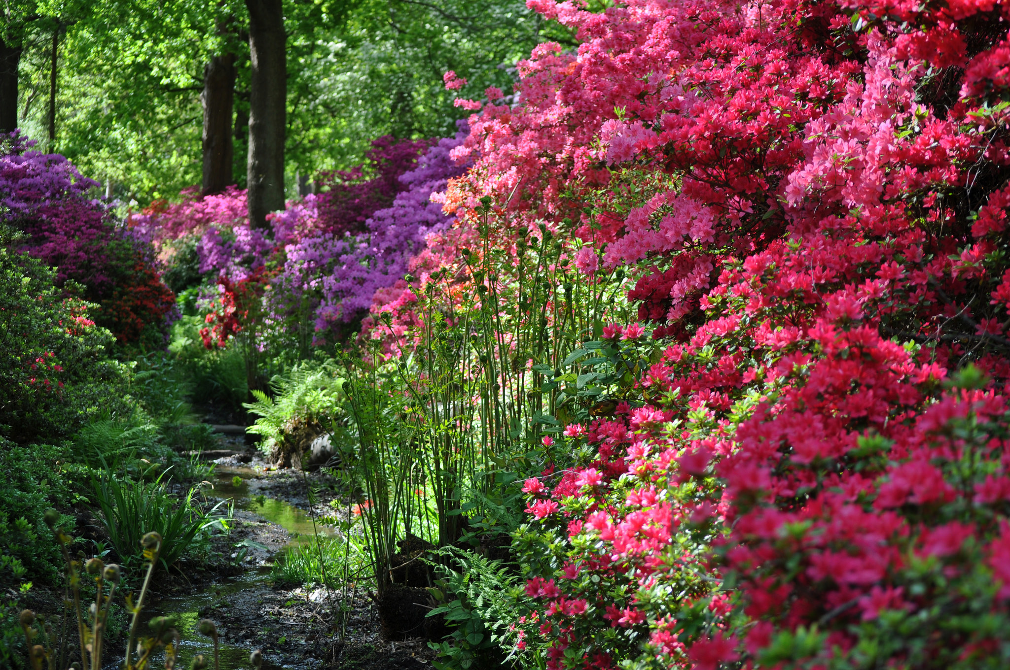 Colourful flowers in Isabella Plantation, Richmond Park, south-west London.