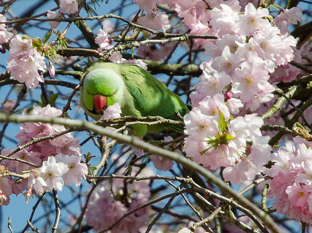 A parakeet perched amid the blossom in Greenwich Park.