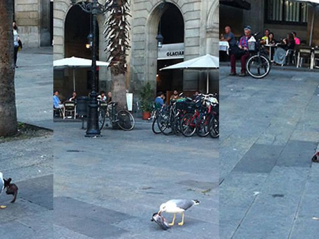 Gavina menja colom a la plaça Reial