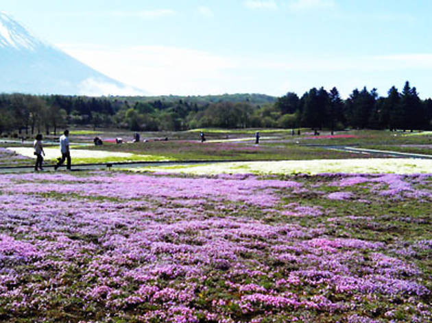 富士芝桜まつり(2013)