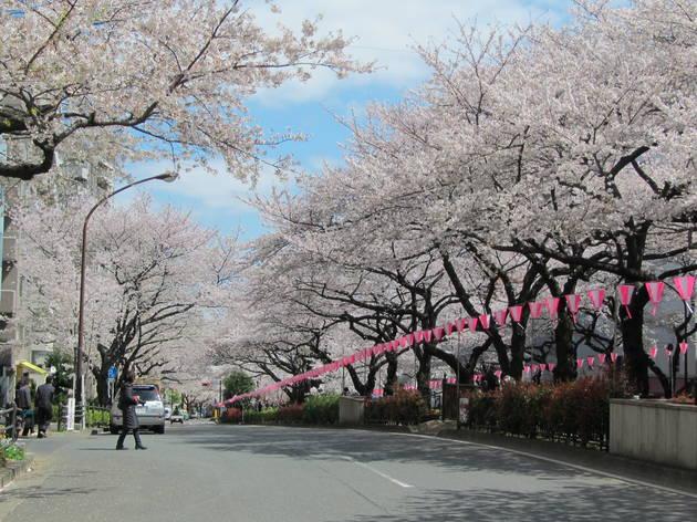 Bunkyo Sakura Festival