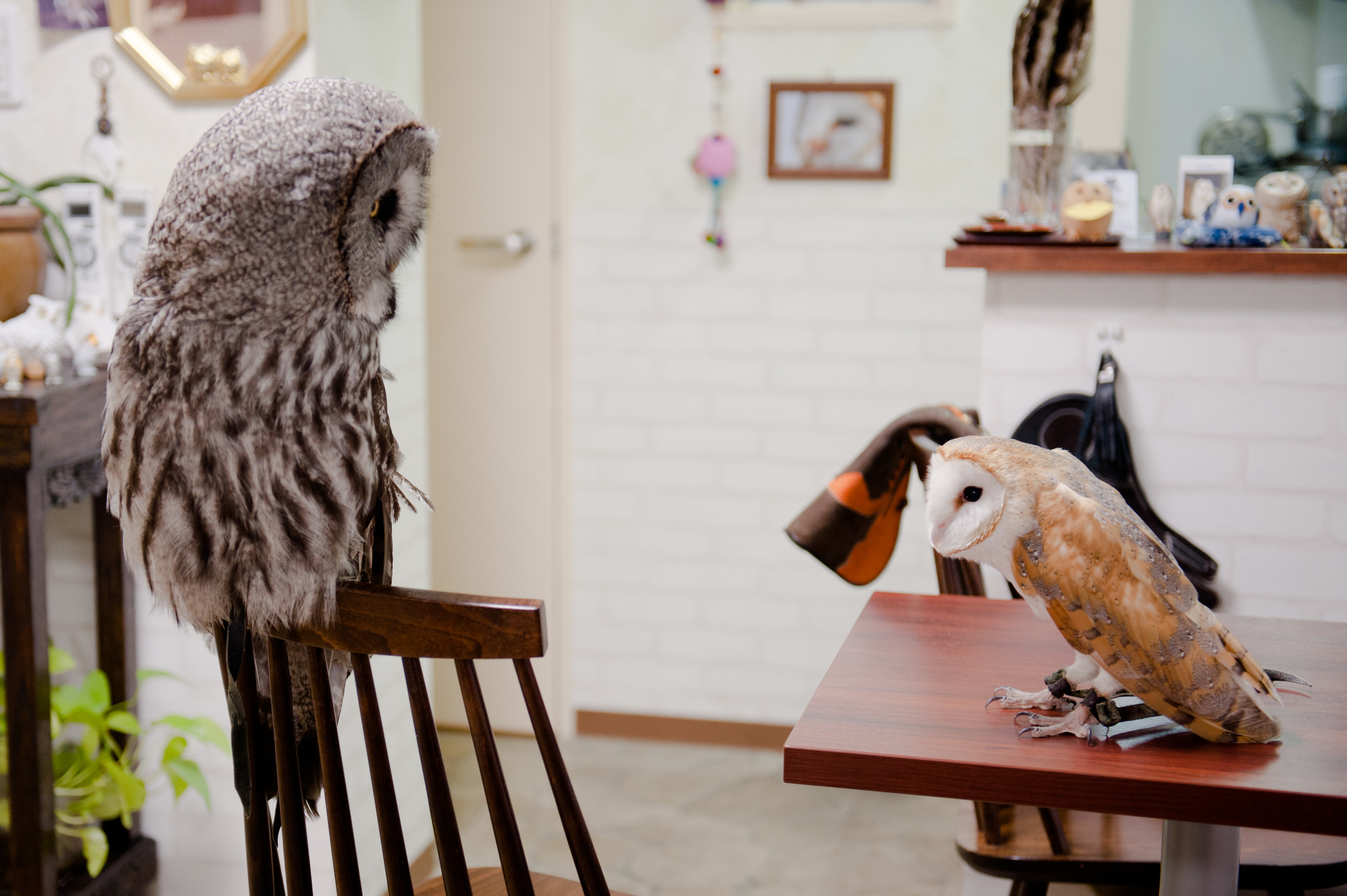 Eat curry with owls...