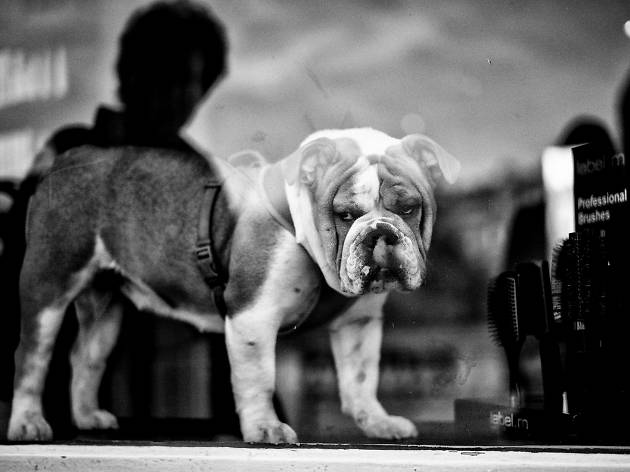 A bulldog looks through a window.