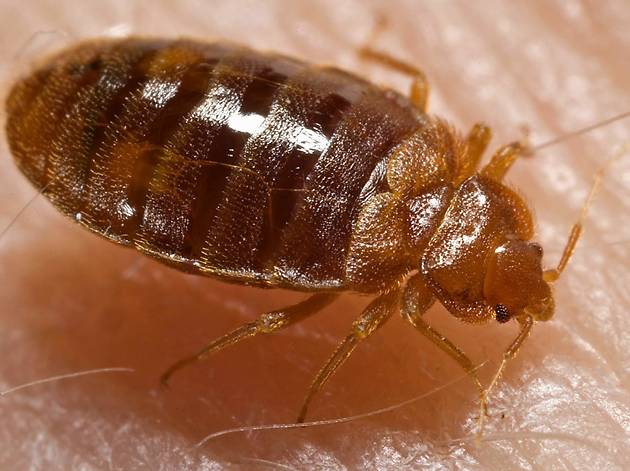 Things to know about bed bugs in Chicago