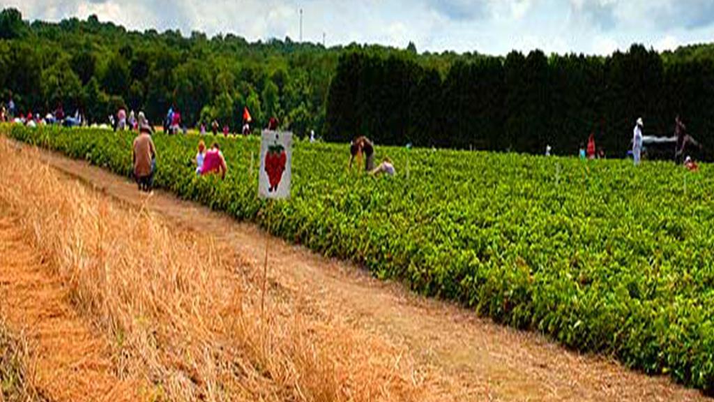 strawberry farm.jpg
