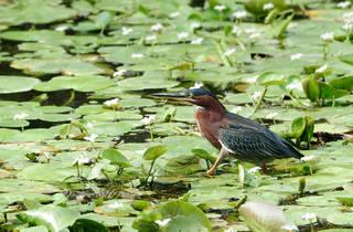 2. julie larsen maher_0043_green heron on lily pads_cym_06 28 11_hr.jpg