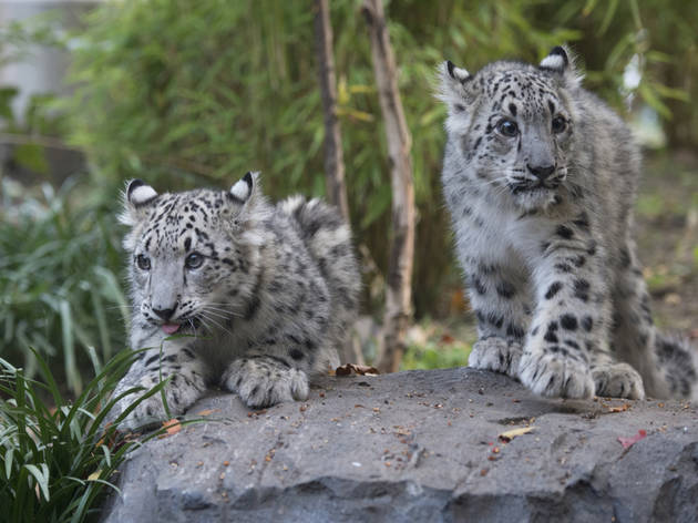 _julie larsen maher 8436 snow leopard and cubs cpz 10 30 13.jpg