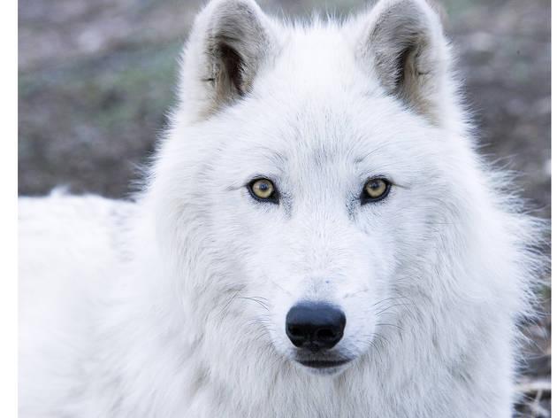 Wild, Wild World: Wolves