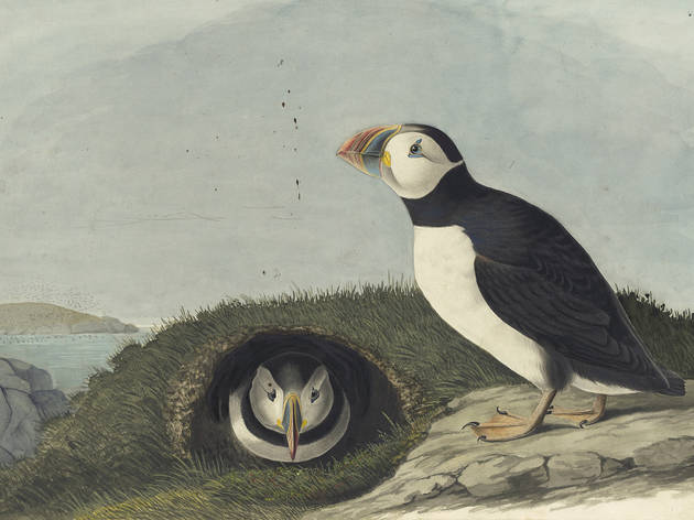 1863_17_213_atlanticpuffin_oe.jpg