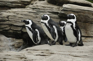 _julie_larsen_maher_0507_black_footed_penguins_aq_12_06_10.jpg