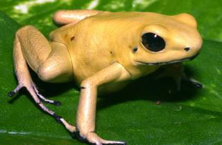 4. gold poison frog_tg.jpg
