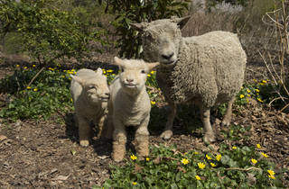 _julie larsen maher 8425 baby doll sheep and lambs ppz 04 10 13.jpg