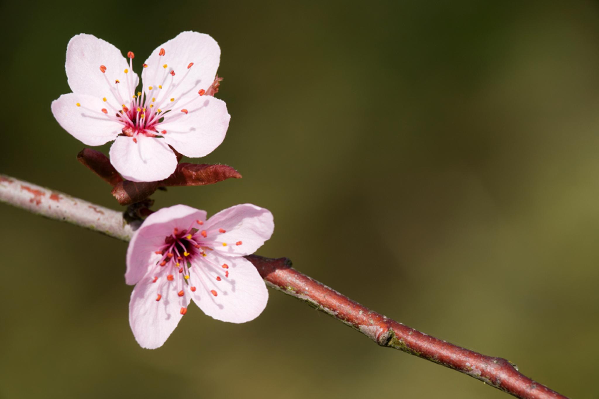 Randall's Island Cherry Blossom Festival