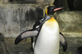 Penguin at the Central Park Zoo