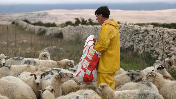 pag lamb, food and drink, restaurants, croatia