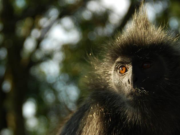 monkey, kuala selangor