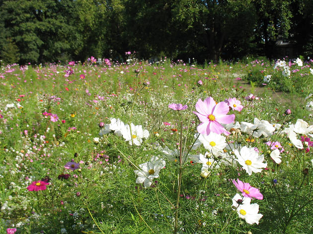 A wildflower meadow in London Fields