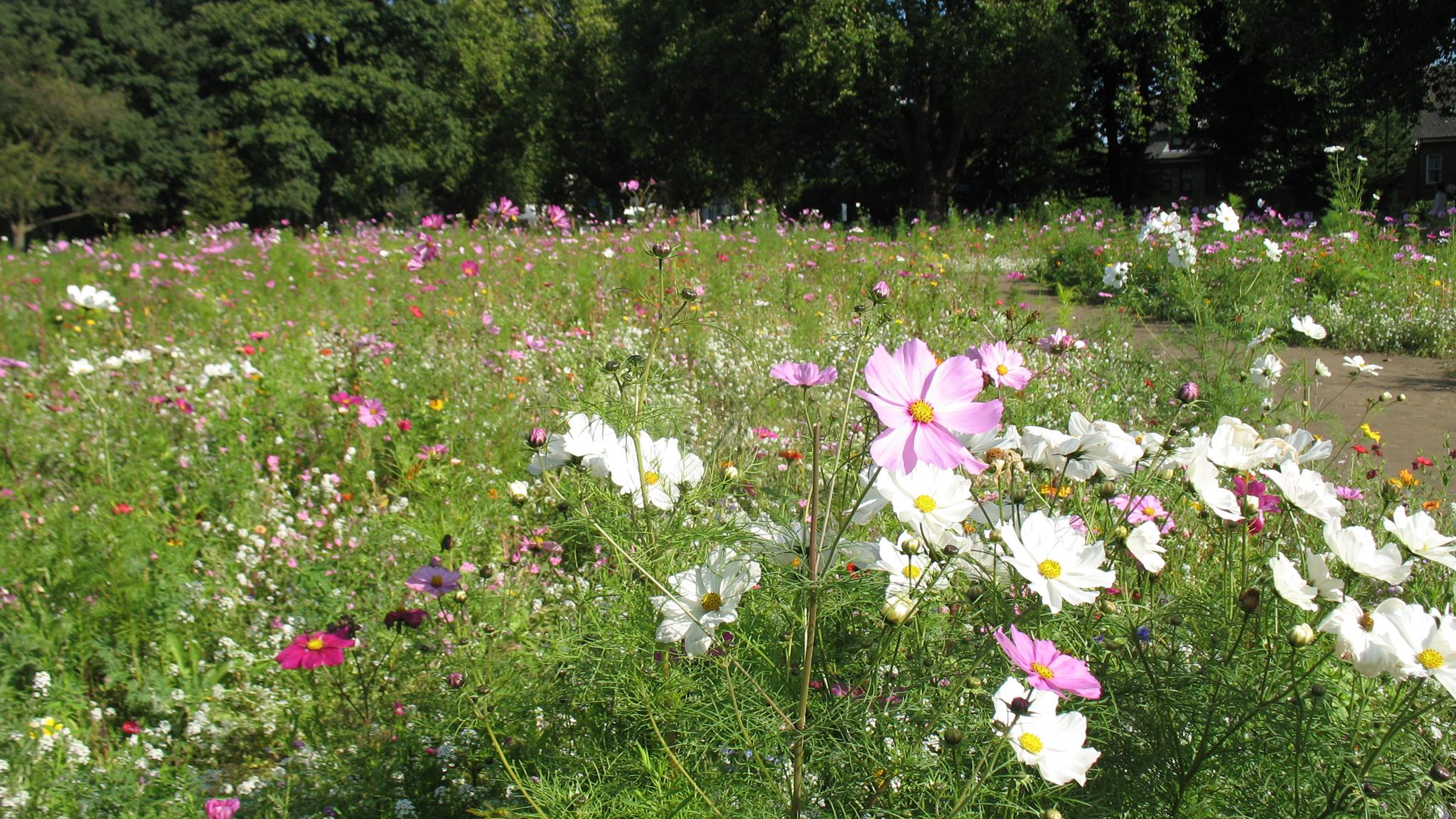 A wildflower meadow in London Fields