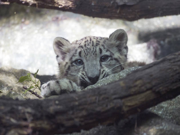 baby_snow_leopard_3.jpg