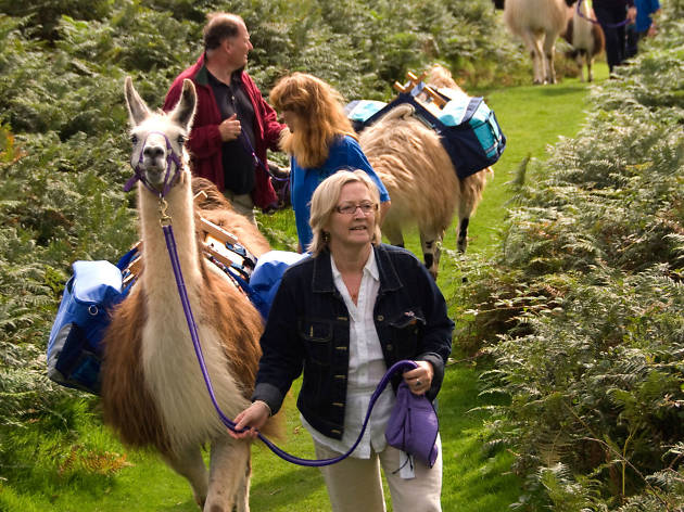 Take a walk on the wool side with llamas in Surrey