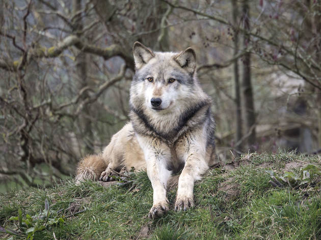 Join the wolf pack in Berkshire