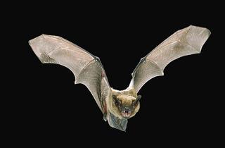 NYC Audubon Bat Walks