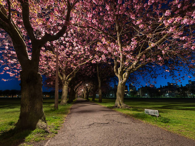 21 meadows cherry blossom night