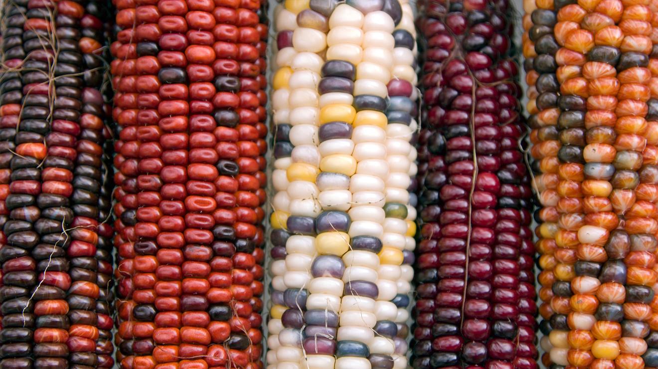 Más maíz por el país