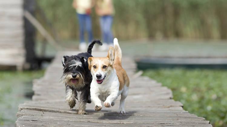 Dos perros corriendo.