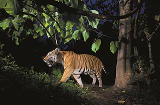 Indo-Chinese Tiger