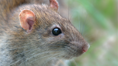 Everything you need to know about rats in Chicago